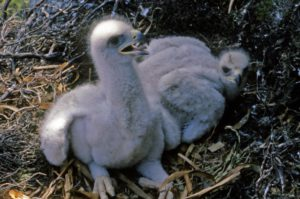 Two chicks showing no signs of sibling aggression; at about three weeks old, the sort parts are now yellowish in colour after being flesh-toned at first after hatching.