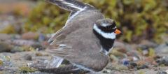 Crop of cover of Shorebirds in Action