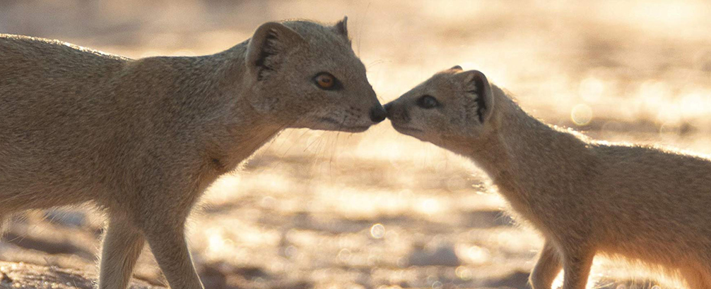 The Social Lives of Mongooses